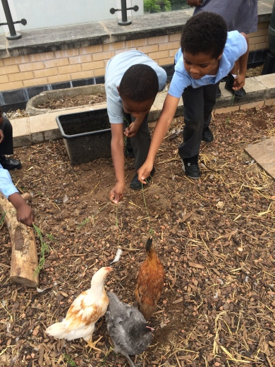 Starting the day feeding the chickens